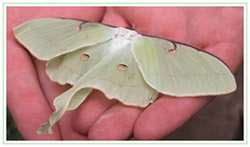 Luna moth resting on hands inside the butterfly conservatory